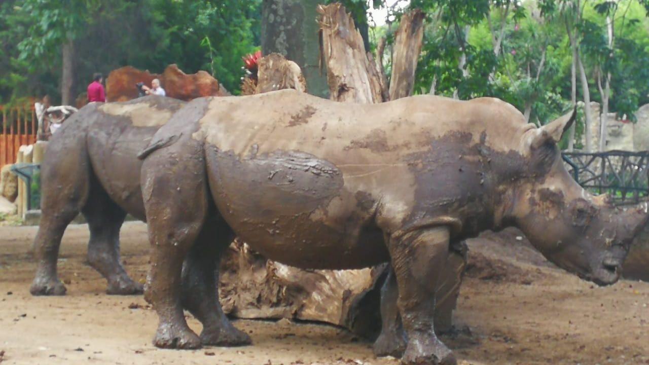 Rinocerontes blancos, especie amenazada, nuevos huéspedes de Zoológico La Aurora